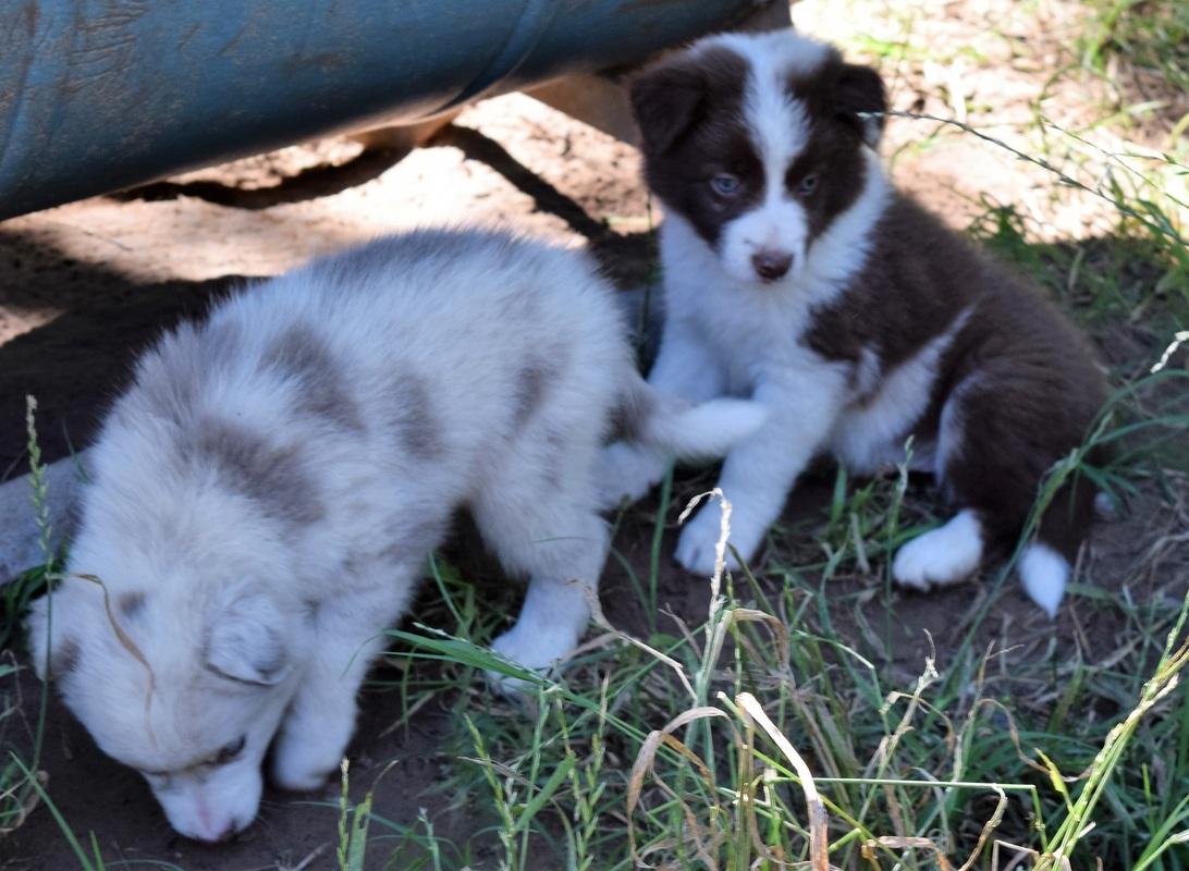 Belgian sheepdog border collie mix puppy